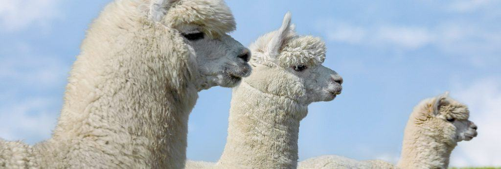species-page-alpaca-llama_header